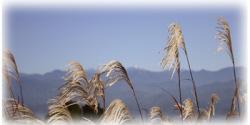 秋風に揺れる「すすき」と初秋の南アルプス