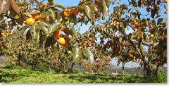 収穫前の市田柿
